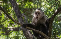 White faced monkey surprised. In Guanacasta, Costa Rica, a white faced monkey sitting in a tree, exhibits an expression of surprise and appears to be saying oh royalty free stock photo