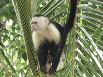 White faced monkey in a tree royalty free stock image