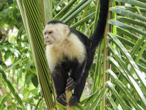 White faced monkey in a tree Royalty Free Stock Photos
