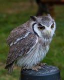 White Faced Owl Stock Photos