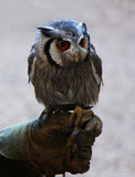 White Faced Owl Royalty Free Stock Photos