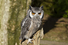 White Faced Owl Royalty Free Stock Images