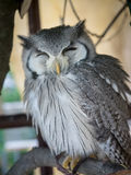 White faced owl  smile Royalty Free Stock Photography