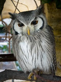 White faced owl Royalty Free Stock Photos