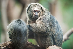 White-faced saki Stock Photo