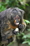 White faced saki. Having lunch Royalty Free Stock Images