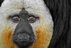 White faced saki Royalty Free Stock Images