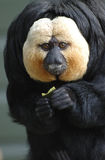 White faced saki Stock Photography