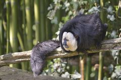 White-faced saki on branch. Male white-faced saki Pithecia pithecia, called the Guianan saki and the golden-faced saki, on branch among bamboo Stock Photos