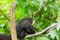 White-faced saki while resting on a tree in a forest. The white-faced saki, called the Guianan saki and the golden-faced saki, is a species of the New World saki Royalty Free Stock Photo