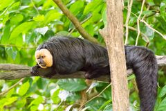 White-faced saki while resting on a tree in a forest. The white-faced saki, called the Guianan saki and the golden-faced saki, is a species of the New World saki Royalty Free Stock Images