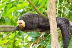 White-faced saki while resting on a tree in a forest. The white-faced saki, called the Guianan saki and the golden-faced saki, is a species of the New World saki Royalty Free Stock Image