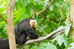 White-faced saki while resting on a tree in a forest. The white-faced saki, called the Guianan saki and the golden-faced saki, is a species of the New World saki Stock Image