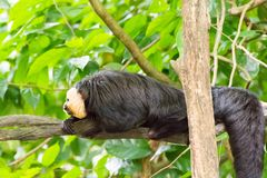 White-faced saki while resting on a tree in a forest. The white-faced saki, called the Guianan saki and the golden-faced saki, is a species of the New World saki Stock Photos