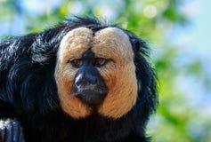 The white-faced saki male monkey up close. The white-faced saki, called the Guianan saki and the golden-faced saki, is a species of the New World saki monkey Royalty Free Stock Photos