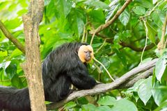 White-faced saki while resting on a tree in a forest. The white-faced saki, called the Guianan saki and the golden-faced saki, is a species of the New World saki Stock Photo