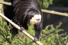 White faced Saki. Climbing down a bamboo cane Royalty Free Stock Photos