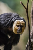 White-faced saki. Closeup of the white-faced saki on the tree Royalty Free Stock Photo