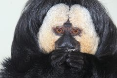 White-faced saki. The detail of white-faced saki Stock Photography