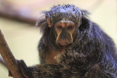 White-faced saki Royalty Free Stock Photos