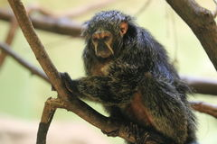 White-faced saki Royalty Free Stock Photography