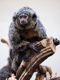 White faced Saki Royalty Free Stock Photo