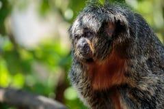 The white-faced saki female monkey up close. The white-faced saki, called the Guianan saki and the golden-faced saki, is a species of the New World saki monkey Royalty Free Stock Photos
