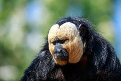 The white-faced saki male monkey. The white-faced saki, called the Guianan saki and the golden-faced saki, is a species of the New World saki monkey. They can be Royalty Free Stock Photos