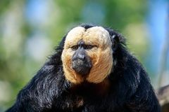 The white-faced saki male monkey eating. The white-faced saki, called the Guianan saki and the golden-faced saki, is a species of the New World saki monkey. They Royalty Free Stock Photography