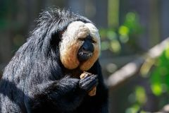 The white-faced saki male monkey eating. The white-faced saki, called the Guianan saki and the golden-faced saki, is a species of the New World saki monkey. They Royalty Free Stock Image