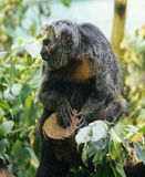 White-faced saki monkey 1 Stock Photo