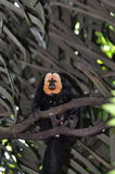 White-faced saki monkey Royalty Free Stock Images