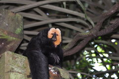White-faced saki monkey Stock Photo