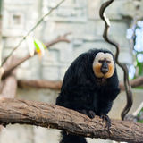 White-faced saki monkey. Male white-faced/Guianan saki monkey (Pithecia pithecia Stock Photo