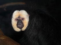 White faced saki monkey Stock Images