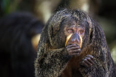 White-faced Saki Monkey. Eating Stock Photo