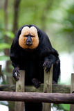White-faced Saki Monkey or Golden Face Saki Royalty Free Stock Photography