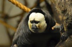 White Faced Saki Monkey Stock Photography