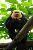 White-faced Saki Monkey (Pithecia pithecia) Stock Photography