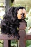 White-faced Saki Monkey (Pithecia pithecia) Royalty Free Stock Photo