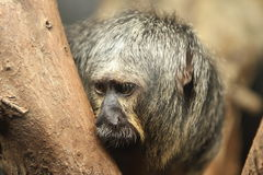 White faced saki monkey Pithecia pithecia Royalty Free Stock Image