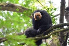 White-faced Saki Monkey Royalty Free Stock Photography