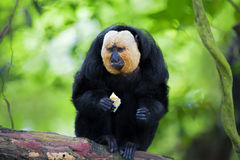White-faced Saki Monkey. Sitting in the treetops Stock Images