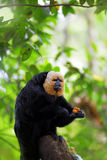White-faced Saki Monkey. Sitting in the treetops Stock Photo