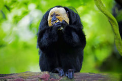 White-faced Saki Monkey. Sitting in the treetops Royalty Free Stock Photos