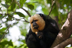 White-faced Saki Monkey. Sitting in the treetops Royalty Free Stock Image