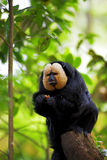 White-faced Saki Monkey. Sitting in the treetops Stock Photography