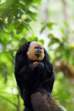 White-faced Saki Monkey. Sitting in the treetops Royalty Free Stock Photo