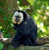 White Faced Saki Stock Images