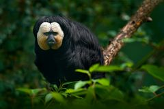 White-faced Saki, Pithecia pithecia, detail portrait of dark black monkey with white face, animal in the nature habitat, wildlife,. Brazil Royalty Free Stock Photo
